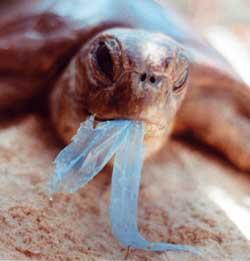 Tortuga comiendo plastico