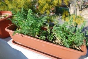 zanahorias de mi huerto urbano