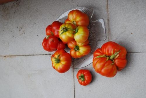 nuestros tomates del huerto urbano