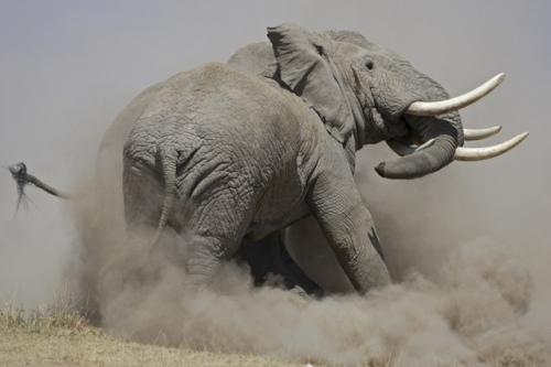 Indefensión aprendida elefante rebelde
