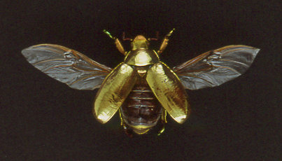 Sincronicidad - escarabajo