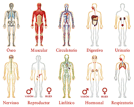 Organismo humano - sistemas
