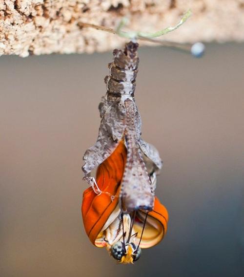 Eclosión mariposa